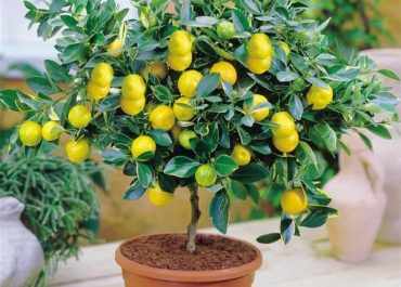 Everything You Should Know to Grow Container Citrus Plants