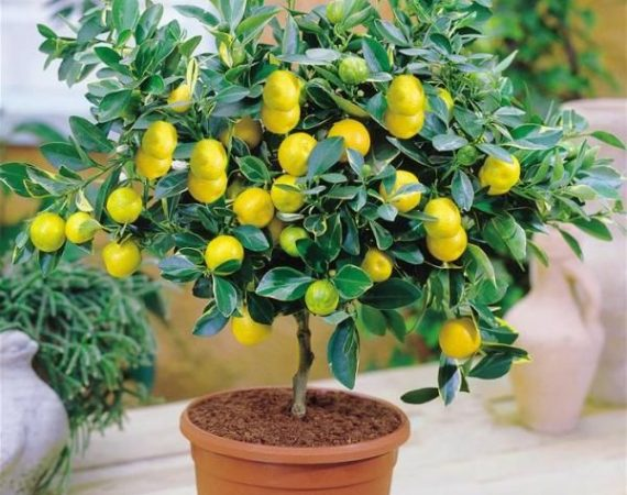 Growing Citrus in the Pots
