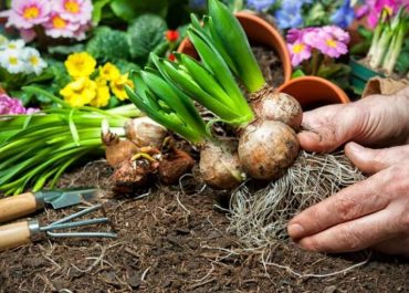Spring Checklist of the Gardener: After-Blooming Care for Bulbs