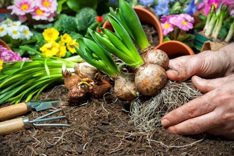 What to Do with Bulbs after Blooming