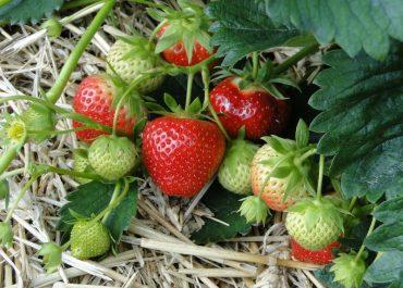 The Secrets of Fruitful Strawberry Harvest