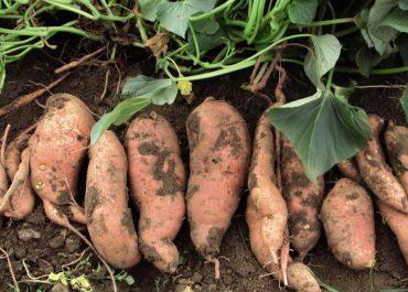 4 Steps to Grow Plenty of Sweet Potatoes