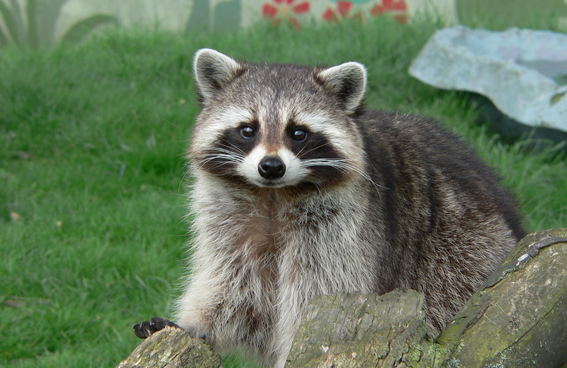 How to Get Rid of Raccoons in Your Garden
