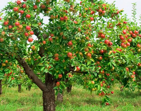 Apple Tree for Your Garden