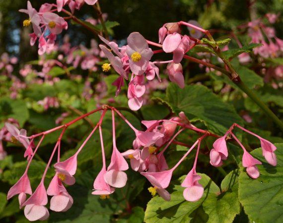 Growing Hardy Begonia